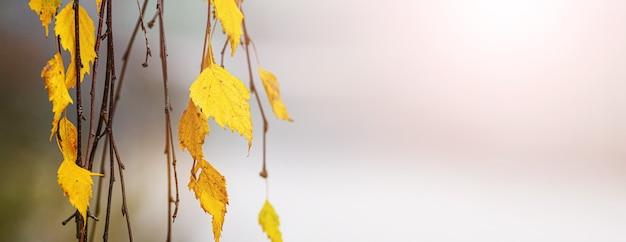 Fundo de outono com folhas de bétula em um fundo desfocado à luz do sol, panorama
