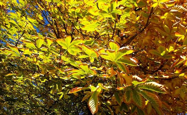 Fundo de outono com uma castanheiro com folhas secas de perto