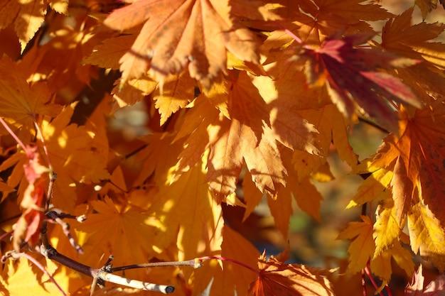 Fundo de outono de close up de folhas de bordo em leque laranja brilhante no jardim botânico
