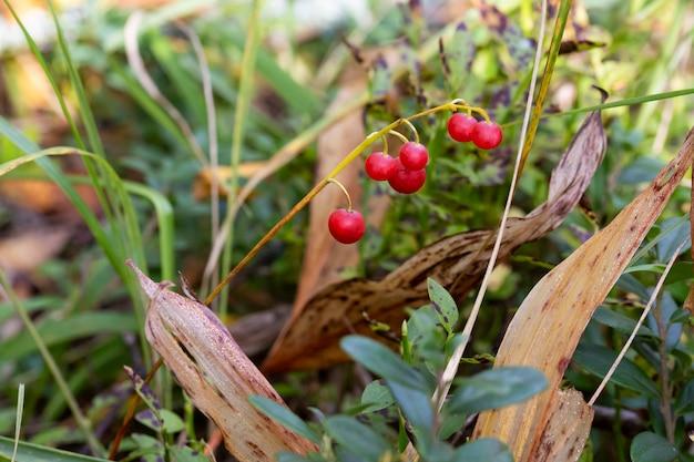 Fundo de outono de convallaria majalis, bagas vermelhas de lírio do vale