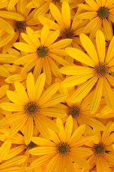 Fundo de outono de flores desabrochando amarelas de alcachofra de jerusalém