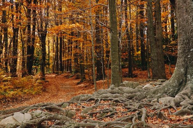 Fundo de outono de uma floresta colorida com grandes raízes no chão e folhas no chão