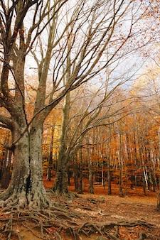 Fundo de outono de uma floresta colorida com grandes raízes no chão e folhas