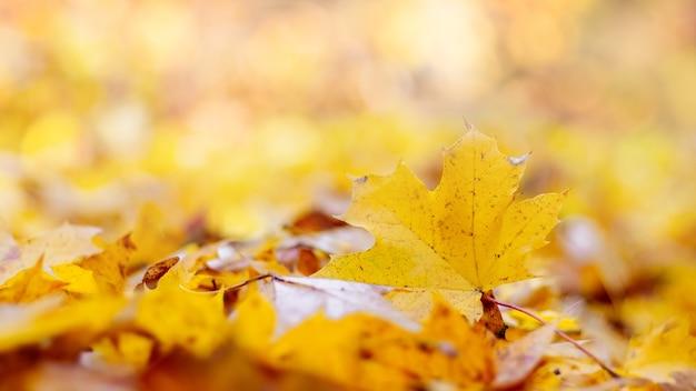 Fundo de outono delicado com folhas de bordo caídas em tons pastel amarelos