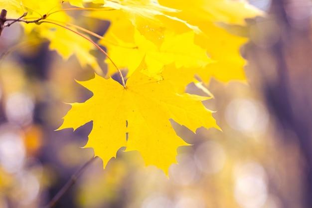 Fundo de outono delicado, folhas de bordo amarelas em um fundo desfocado em cores brilhantes