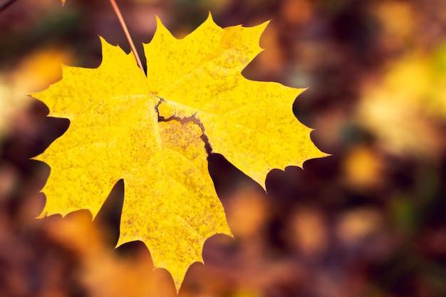 Fundo, de, outono, folha maple