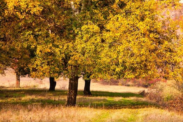 Fundo de outono, folhas amareladas nas árvores de choupo.