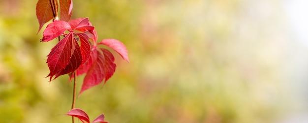 Fundo de outono. folhas de outono vermelhas em um fundo desfocado. copie o espaço
