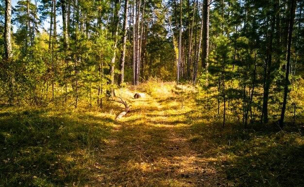 Fundo de outono lindo linda paisagem de outono floresta amarela ao sol