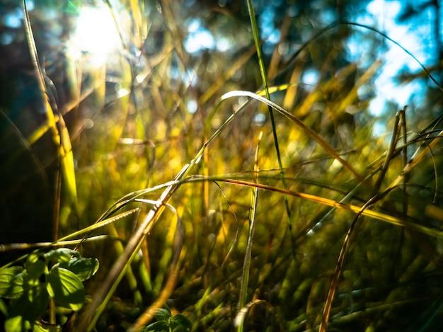 Fundo de outono lindo outono grama seca cresce na floresta em raios de sol