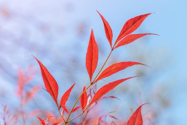 Fundo de outono natureza com folhas vermelhas contra o céu azul