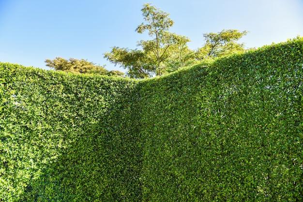 Fundo de parede de folhas verdes com céu azul ou parede verde natural, cerca de folha de árvore
