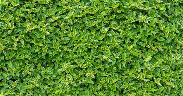 Fundo de parede de folhas verdes, fundo de natureza de parede de folha,