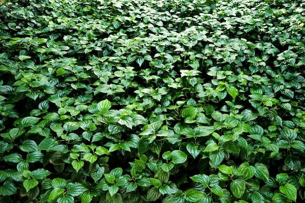 Fundo de parede de folhas verdes