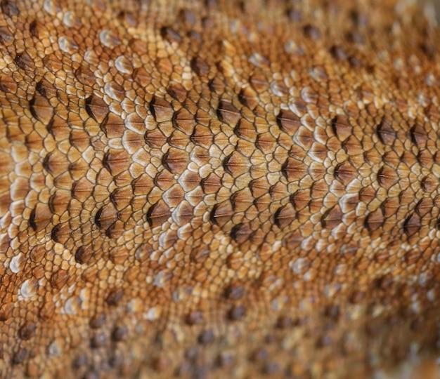 Fundo de pele de dragão barbudo