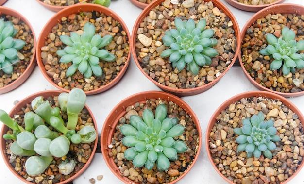 Fundo de pequenas plantas suculentas
