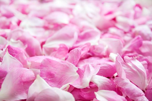 Fundo de pétalas de rosa cor de rosa frescas