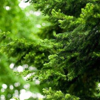 Fundo de pinheiro