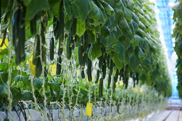 Fundo de plantação de pepino