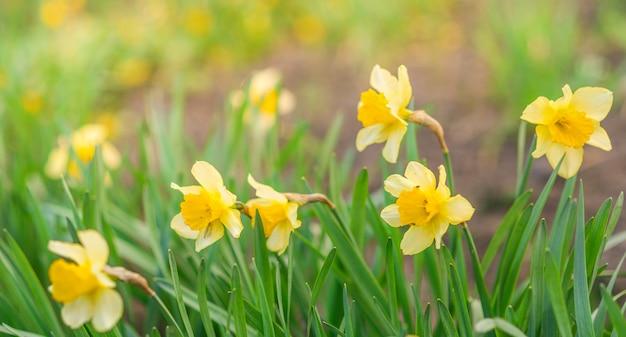 Fundo de primavera com flores amarelas. narcisos amarelos amarelos no verde.