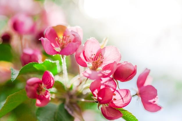 Fundo de primavera com flores desabrochando de macieira rosa brilhante. cena de bela natureza com luz solar.