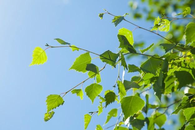Fundo de primavera com folhas de bétula verdes brilhantes contra o fundo do céu azul