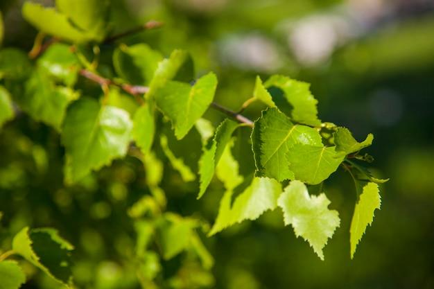 Fundo de primavera com folhas verdes brilhantes de bétula