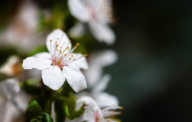 Fundo de primavera de foco suave. borda floral abstrata com flores brancas.