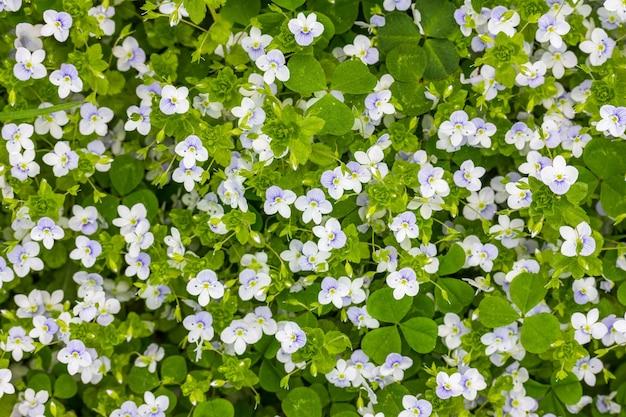Fundo de primavera de pequenas flores azuis e brancas (veronica persica) em um prado verde, vista superior