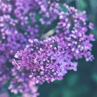 Fundo de ramo lilás violeta desabrocham. conceito de primavera. feche acima, foco seletivo, copie o espaço.
