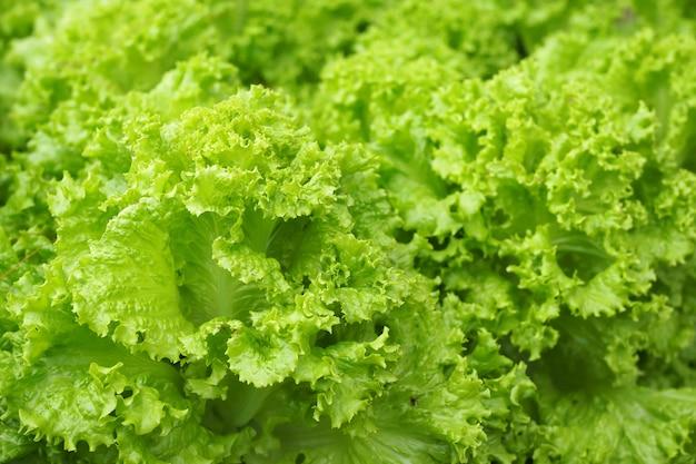Fundo de salada verde fresca no jardim