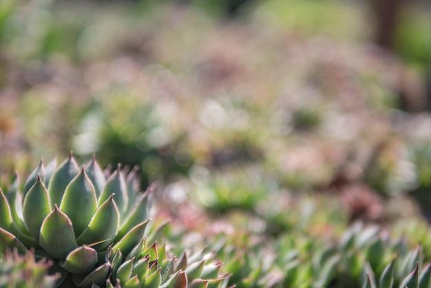 Fundo de suculentas verdes lindas