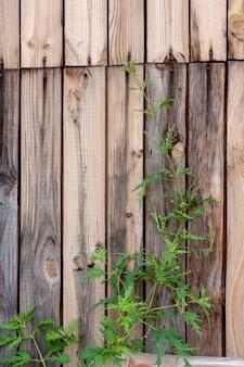 Fundo de tábuas sem pintura com nós e arbusto de urtiga. imagem vertical.