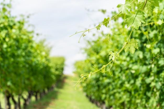 Fundo de temporada de verão ou primavera com folhas de videira na vinha.