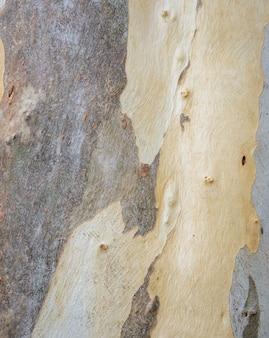 Fundo de textura de casca de árvore de eucalipto