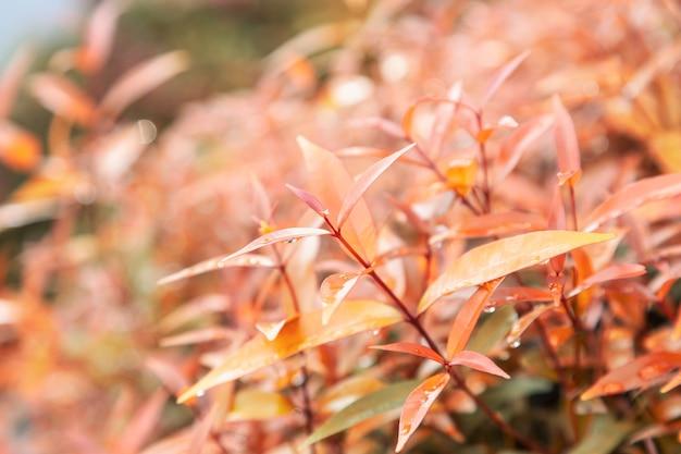Fundo de textura de folhas amarelas com gotas de água da chuva folhas de outono