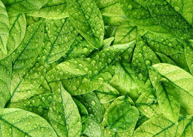 Fundo de textura de folhas verdes com gotas de água de chuva
