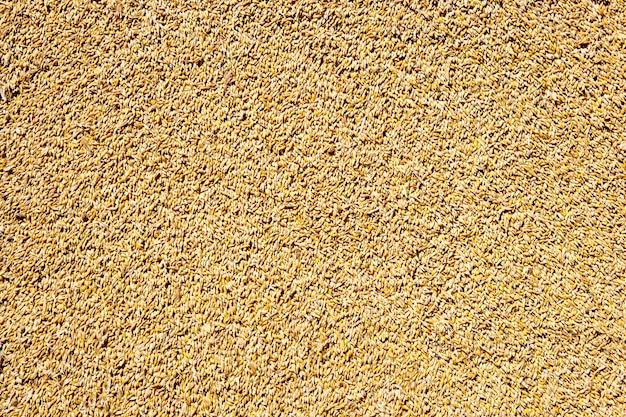 Fundo de textura de grão de trigo de cereais