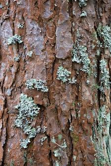 Fundo de textura de madeira. a casca é a camada mais externa de caules e raízes de plantas lenhosas. as plantas com casca incluem árvores, trepadeiras lenhosas e arbustos.
