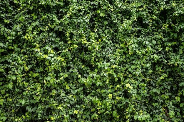 Fundo de textura de parede de folha verde vinha na parede