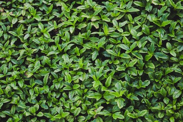 Fundo de textura de parede de folhas verdes.