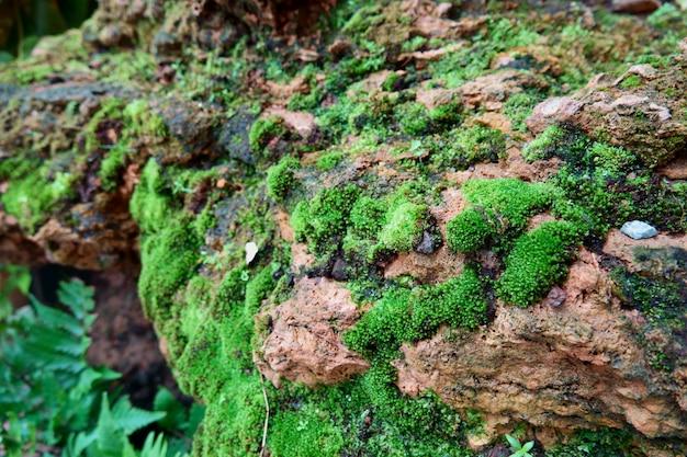 Fundo de texturas de musgo. musgo verde em fundo de pedra