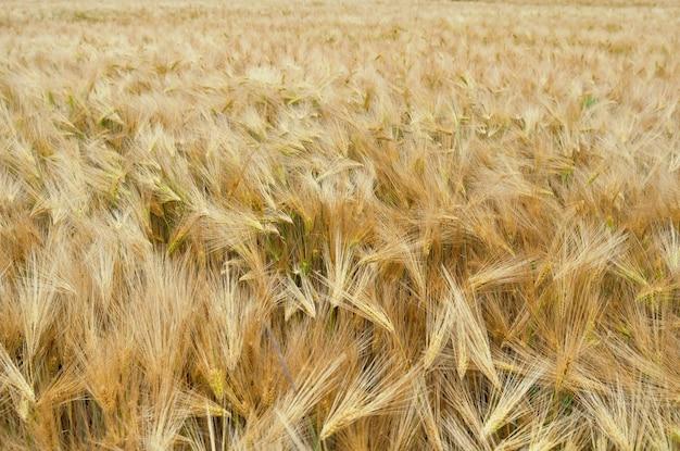 Fundo de trigo dourado
