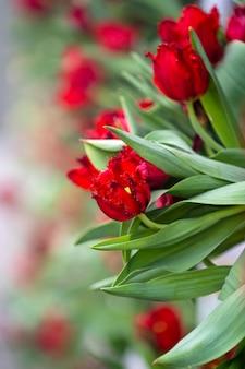 Fundo de tulipas vermelhas coloridas lindas. campo de flores da primavera. tulipas canteiro de flores em danang, vietnã, close-up
