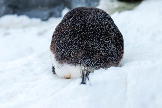 Fundo de um pinguim-imperador