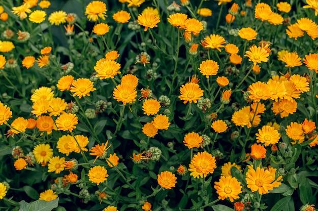 Fundo de verão brilhante com calêndula de flores em crescimento