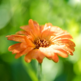 Fundo de verão brilhante com crescente calêndula de flor única, um marigol