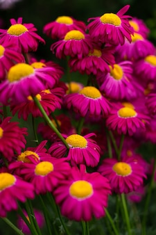Fundo de verão brilhante com margaridas rosa