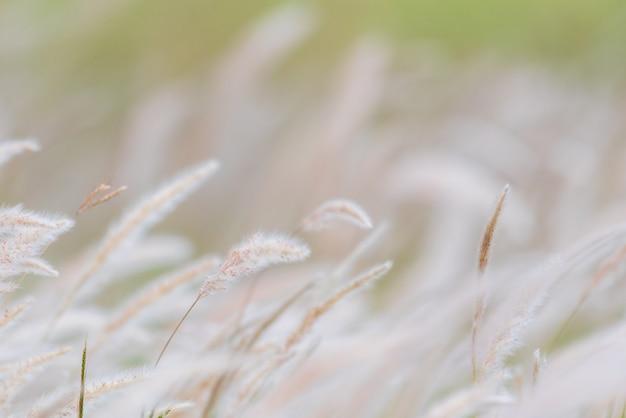 Fundo de verão, flor de grama seca soprando no vento, junco vermelho balançam ao vento Foto Premium