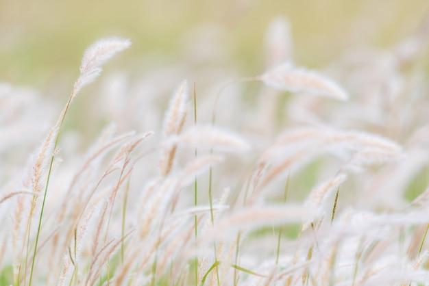 Fundo de verão, flor de grama seca soprando no vento, junco vermelho balançam ao vento